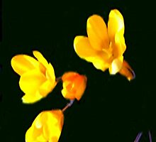 crocus without a background(please read legend) by hilarydougill