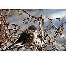 Feeding Sparrow Photographic Print