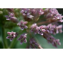 HDR Composite - Multiple Exposure Ghosting of Milkweed Photographic Print
