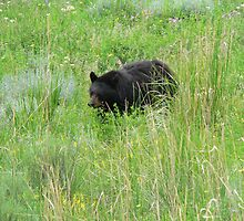 Blackbear On The Move by kevint