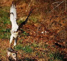 RedTail Hawk With Kill by madman4