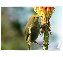 Natural Pollen Highlights! - Bellbird - Southland Poster