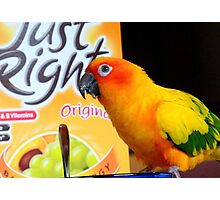 Did You Get It All This Morning! - Sun Conure - NZ Photographic Print