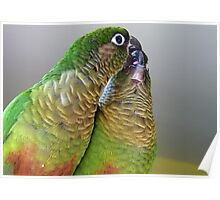 Happy Valentines Day! - Bubbles & Echo - Maroon-bellied  Conure NZ Poster