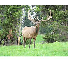 Bull Elk Calling Out Photographic Print