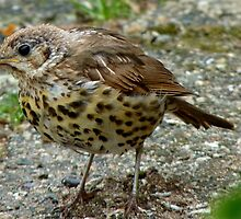 Moment Frozen In Time! - Baby Song Thrush - Southland by AndreaEL
