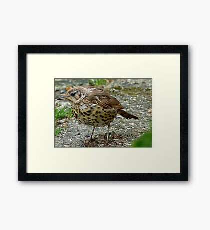 Moment Frozen In Time! - Baby Song Thrush - Southland Framed Print