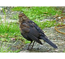 If Looks Could Kill! - Young Blackbird - NZ Photographic Print