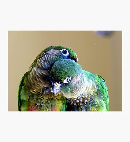Cuddles - Maroon-bellied Conure - NZ Photographic Print