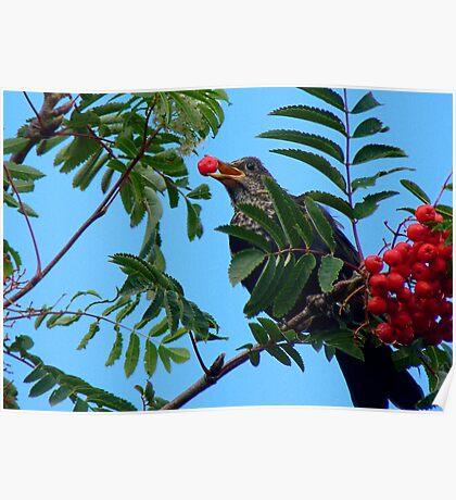 Berry Happy Blackbird - Juvenile Blackbird - NZ Poster