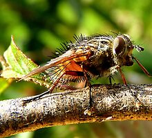 Hairy Maclary  - Fly - NZ by AndreaEL