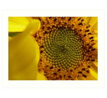 Leonardo Fibonacci - Sunflower - NZ Art Print