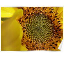 Leonardo Fibonacci - Sunflower - NZ Poster