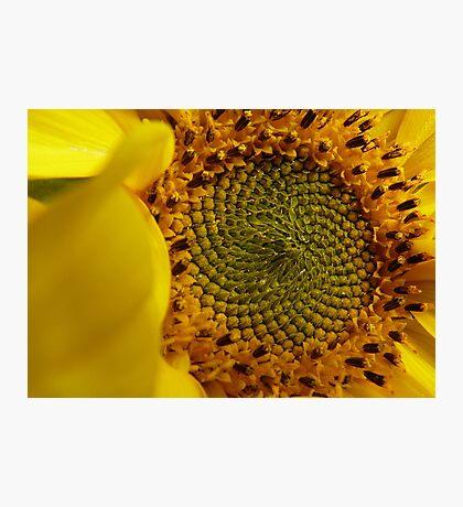 Leonardo Fibonacci - Sunflower - NZ Photographic Print