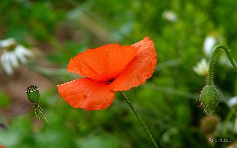 Three Generations! - Red Poppy - NZ by AndreaEL