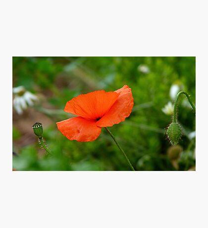 Three Generations! - Red Poppy - NZ Photographic Print