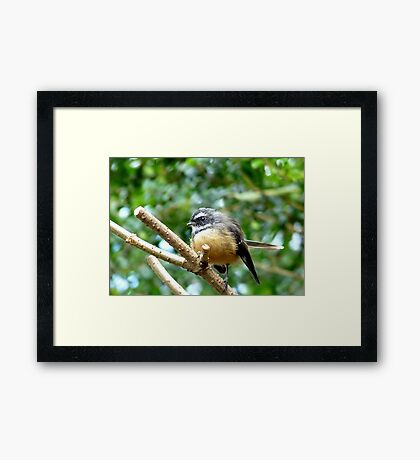 A Quick Pose - Fantail - Southland Framed Print