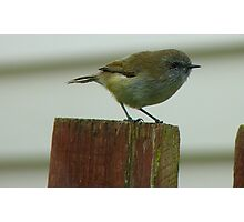 Be Quick, I'm Off! - Grey Warbler - NZ Photographic Print