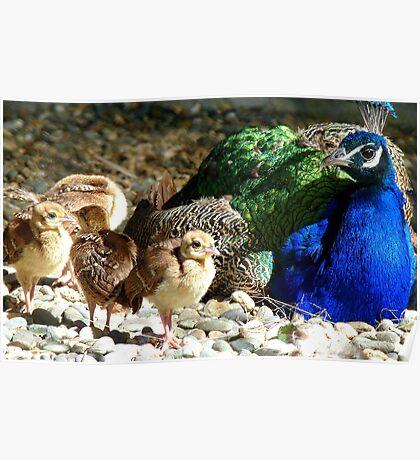 Gone Shopping, Dad's Babysitting! - Peacocks - NZ Poster