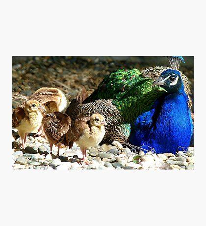 Gone Shopping, Dad's Babysitting! - Peacocks - NZ Photographic Print
