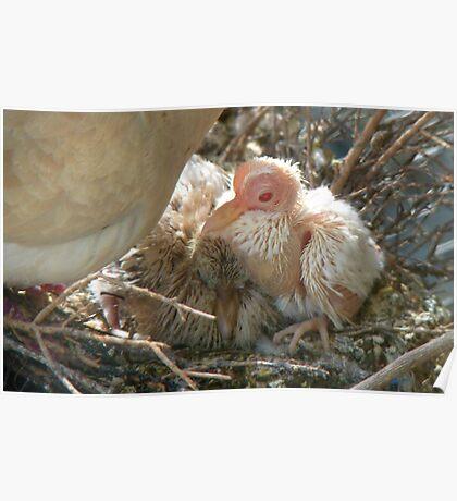 Pterodactyl - Beautiful-Ugly - Baby Collard Dove - NZ Poster