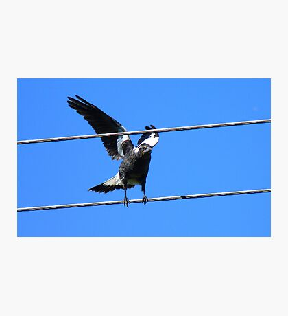 Lucky Sign -Happiness Magpie - NZ Photographic Print