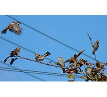 Seven - 7 House Sparrows - Southland NZ Photographic Print