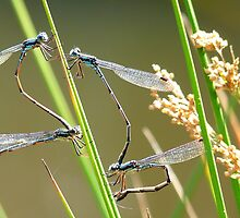 The Art Of Mating - Damselfly's - NZ by AndreaEL