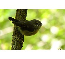 Tom Thumb -Tom Tit - Dolomore Forest Park NZ Photographic Print