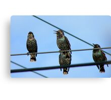 I Can See Clearly Now The Rain Has Gone- Starlings - NZ Canvas Print