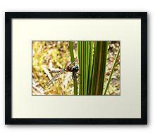 Voracious Predator - Bush Giant Dragon Fly - NZ Framed Print
