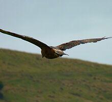 A Hawks View - Harrier Hawk - NZ by AndreaEL