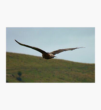 A Hawks View - Harrier Hawk - NZ Photographic Print