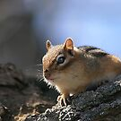 Chipmunk by Holly Cawfield