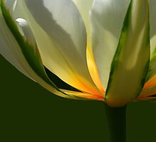 Tulip Glow by Holly Cawfield