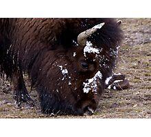 Grazing Buffalo Photographic Print