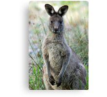 Eastern Grey Kangaroo - Australia Canvas Print