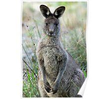Eastern Grey Kangaroo - Australia Poster