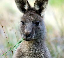 Eastern Grey - Australia  by Mette  Spange