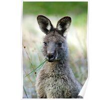 Eastern Grey - Australia  Poster