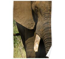 Elephant Frontal Poster