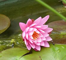 lilly in a pond by mac sinclair-parry
