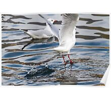 seagull on lake Poster