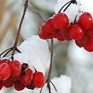 Snow-capped berries by Arie Koene
