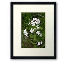 HDR Composite - White Flox or Phlox Framed Print