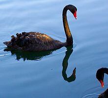 black swans by Martin Pot