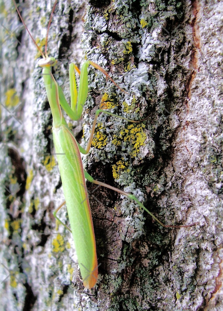Praying Mantis by mikrin