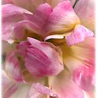 Close-up of a Soft and Frilly Pink & White Tulip ~ Pretty Spring Flower in Bloom by Chantal PhotoPix