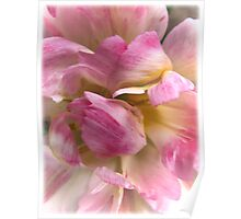 Close-up of a Soft and Frilly Pink & White Tulip ~ Pretty Spring Flower in Bloom Poster
