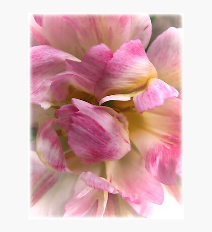 Close-up of a Soft and Frilly Pink & White Tulip ~ Pretty Spring Flower in Bloom Photographic Print